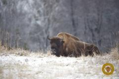 Wisentbulle im Wildpark Schorfheide