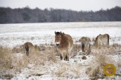 Przewalskipferde im Wildpark Schorfheide