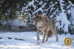 "Wolf ""Story"" im Wildpark Schorfheide"