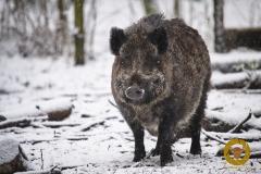Wildschwein im Wildpark Schorfheide