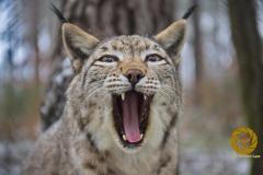 L>uchs im Wildpark Schorfheide