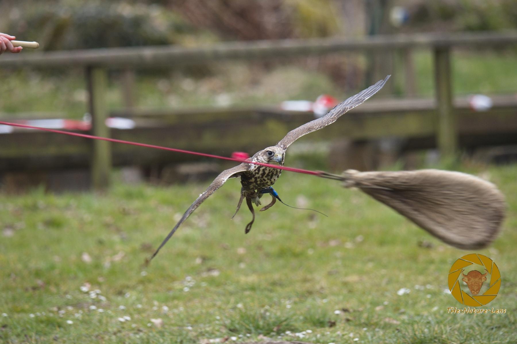 Lannerfalke bei der Jagd auf die Beuteatrappe im Falkenhof im Wisentgehege