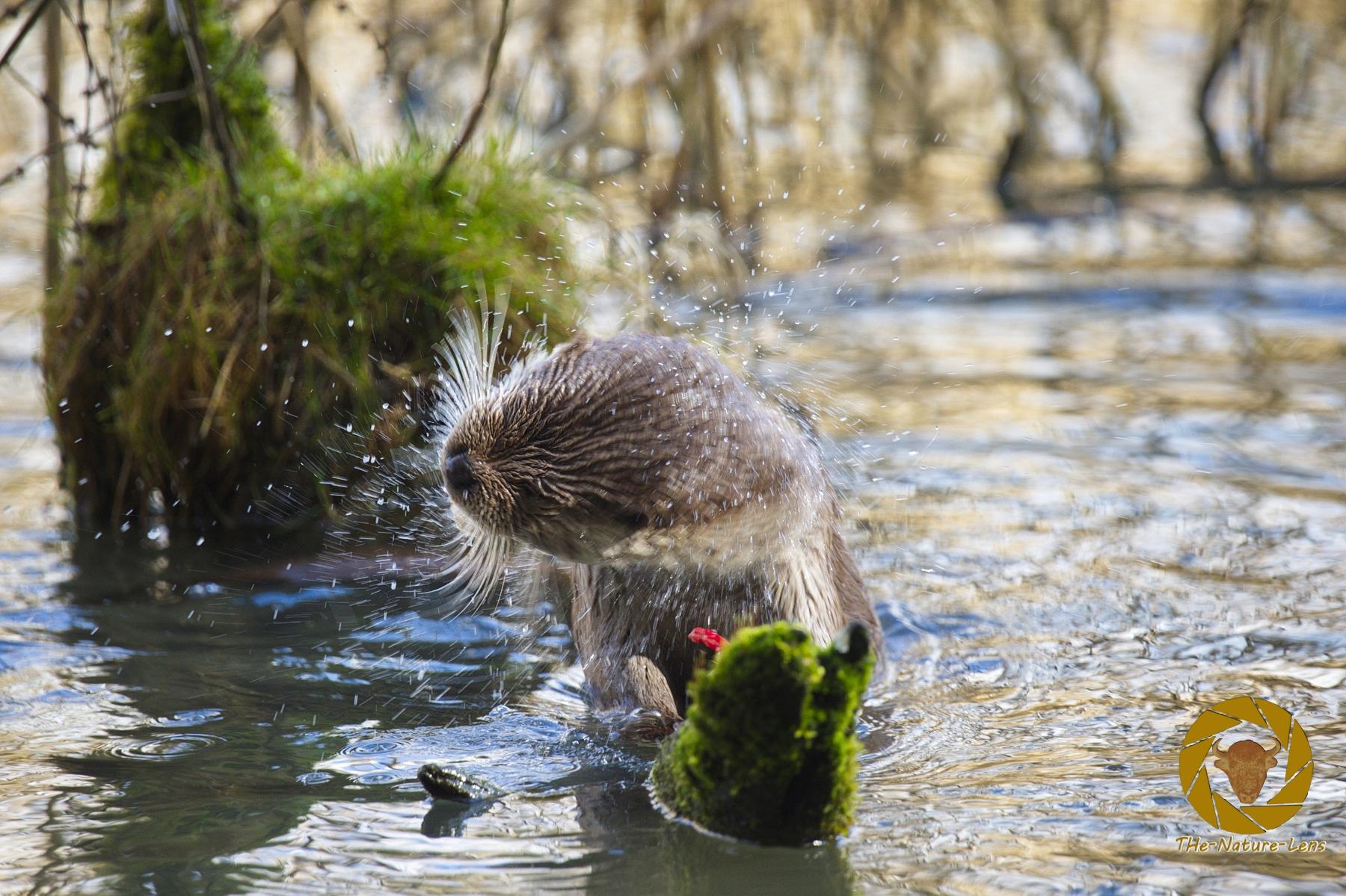 Fischotter im Wildpark Schorfheide