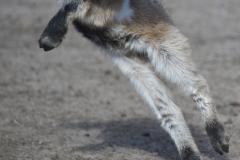 Ninja-Zicklein im Wildpark Schorfheide