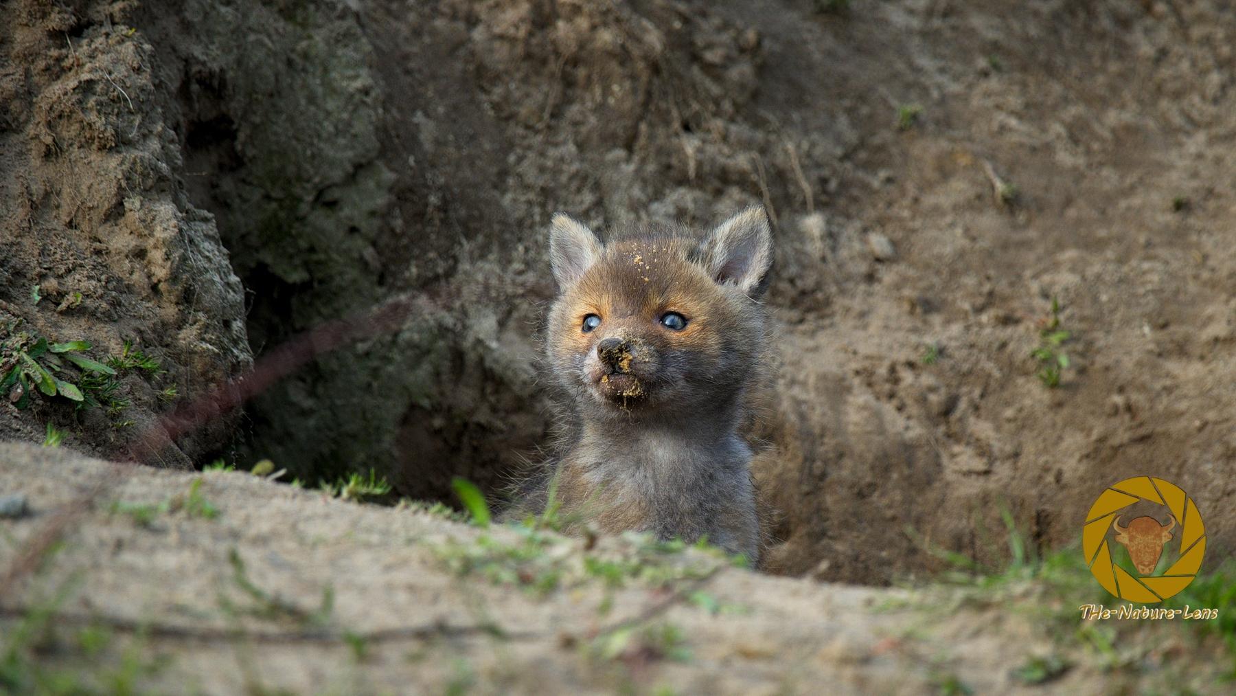 Fuchswelpe am Bau