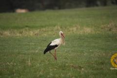 Weißstorch im Wildpark Schorfheide (frei lebend)