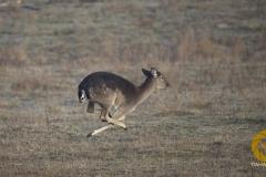 weibliches Damwild (Alttier im Jägerlatein) im Wildpark Schorfheide