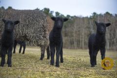 Lämmer des rauhwolligen Pommerschen Landschafs  im Wildpark Schorfheide