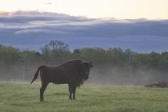 Wisentliche Morgenstimmung im Wildpark Schorfheide