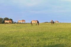 Przewalski-Panorama im Wildpark Schorfheide