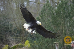Weißkopfseeadler im Falkenhof im Wisentgehege