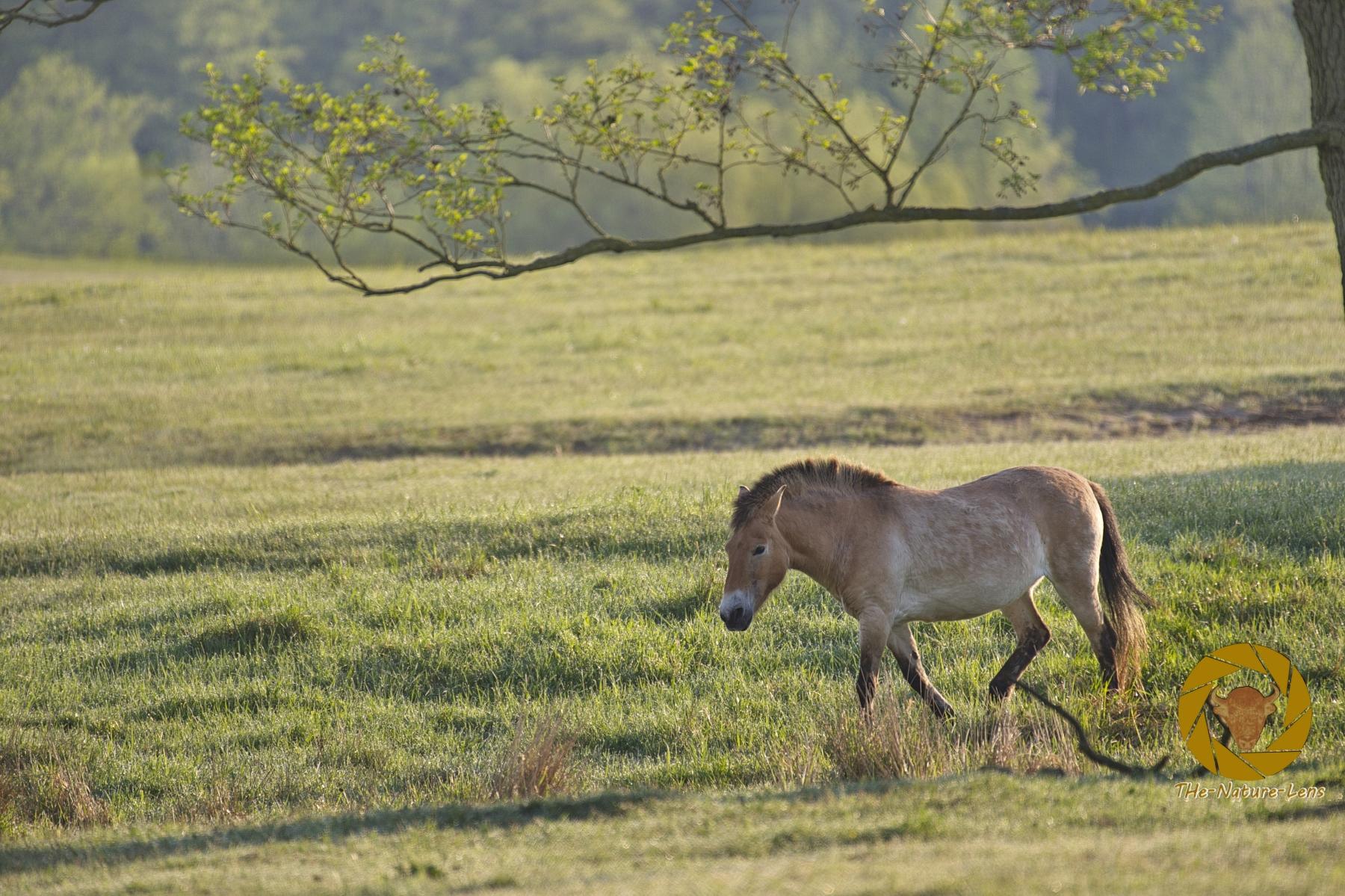 Przewalskipferd im Wildpark Schorfheide