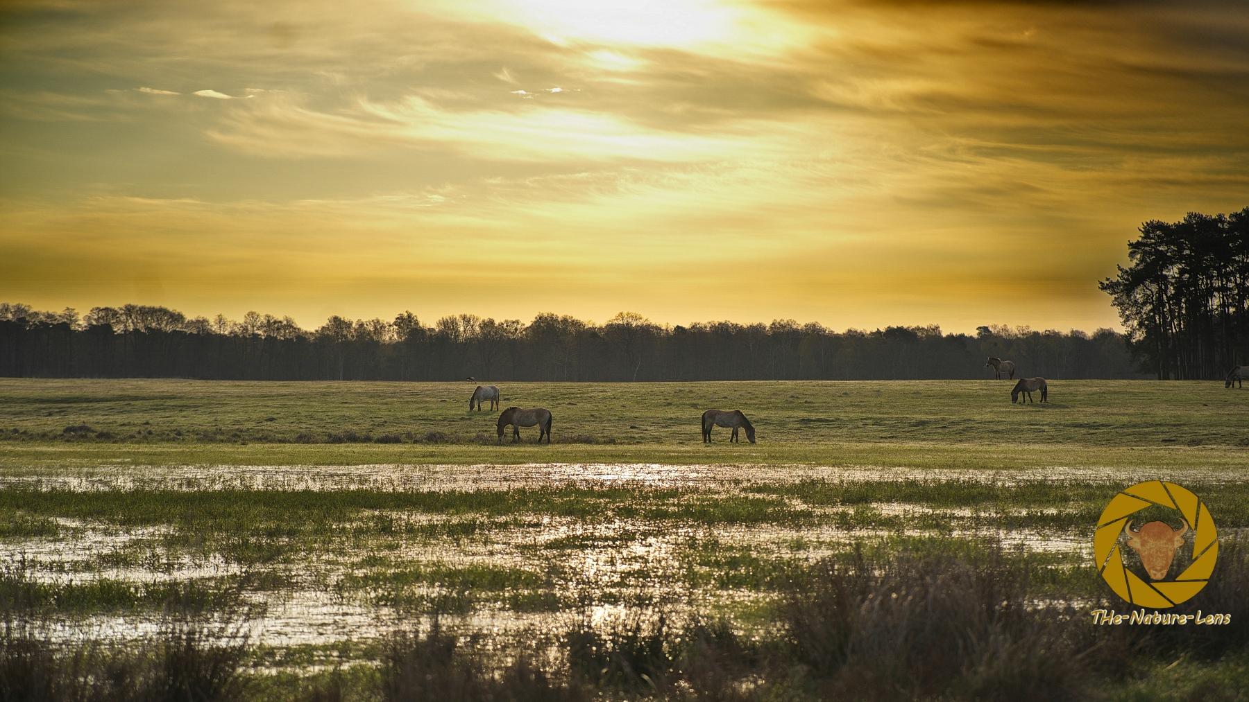 Sonnenaufgang bei den Przewalskipferden im Wildpark Schorfheide
